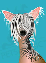 Tulip, the Chinese Crested dog wall art. Item#: DTCC-P300
